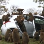 Watch Baboons Test the Durability of the Hyundai Elantra GT