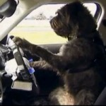 Someone Has Actually Taught Dogs How To Drive A Car (VIDEO)