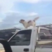 Dog-on-top-of-car