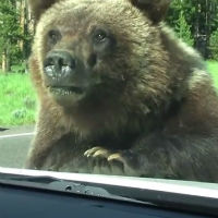 Bear-just-needed-a-ride