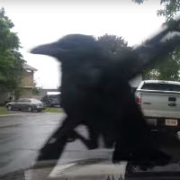 Crow-just-wants-to-have-fun